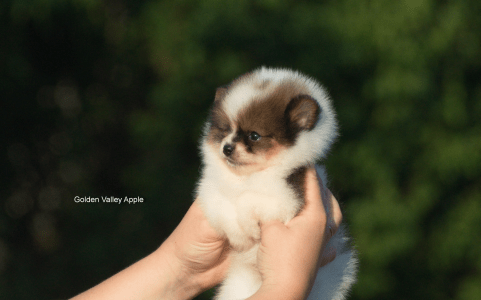 German Pomeranian Spitz - Golden Valley Apple L...