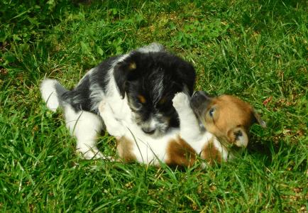 Jack Russell Terrier - Joyful Jack Kennel