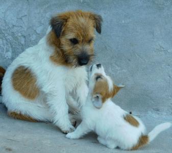 Jack Russell teriér - Joyful Jack Kennel