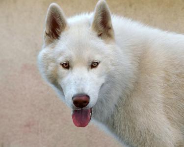 Siberian Husky - Indy
