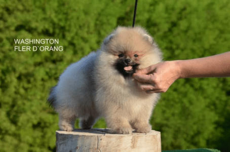 German Pomeranian Spitz - Washington