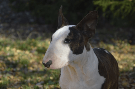 Bullterrier - Atlant