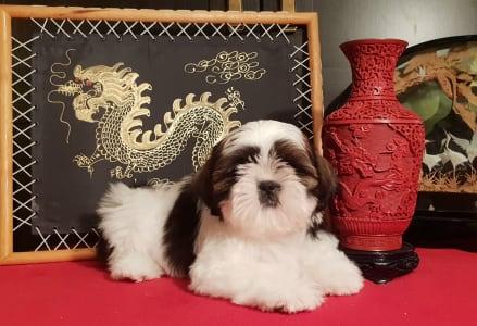Shih Tzu - Mylow
