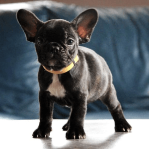 French Bulldog - Emy