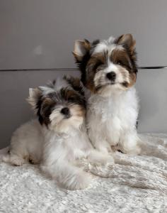 Biewer Terrier - Diamond Of Exclusive Toy