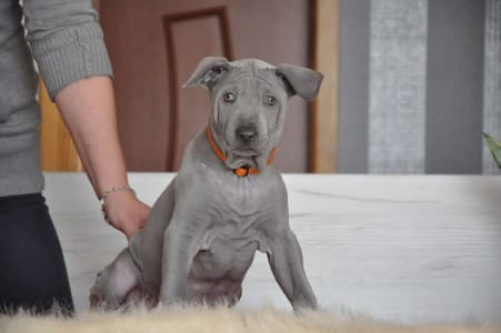 Thai Ridgeback Dog - Arrow