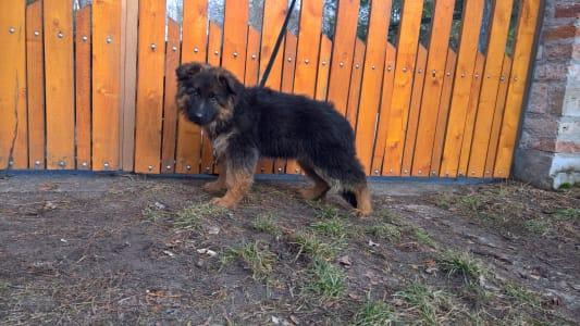 German Shepherd Dog - Lujza