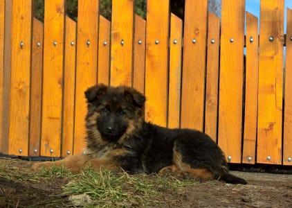 Německý ovčák - Lujza