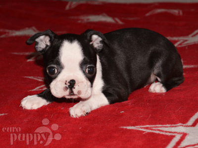 Boston Terrier - Big-Bos-Tons