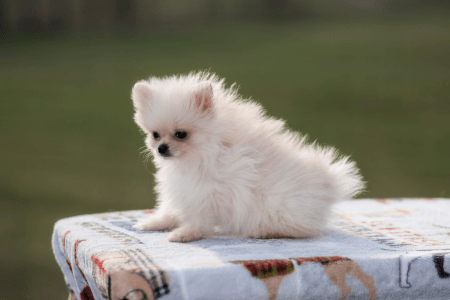 German Pomeranian Spitz - Mickey