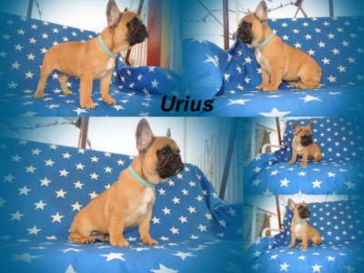 French Bulldog - Urius Tenuto