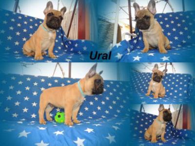 Francia bulldog - Ural Tenuto