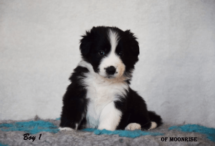 Border Collie - Sly