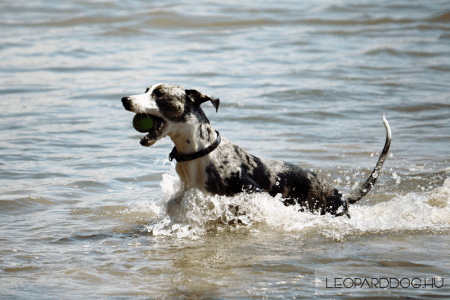 Catahoula Leopard Dog - Diversitys Catahoulas