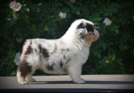 Australian Shepherd - Hollywood News Agency