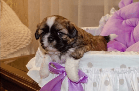 Shih Tzu -  Emerald Cut