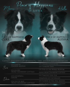 Border Collie - Piece Of Happiness Daryl