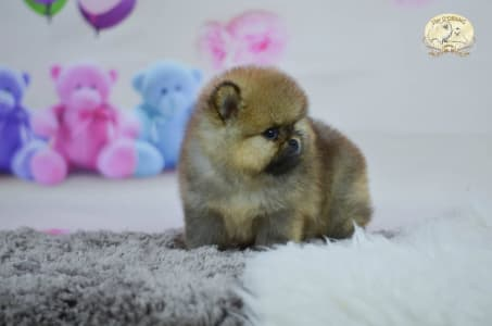 German Pomeranian Spitz - Babetta Fler D`orang