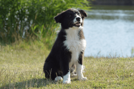 Border Collie - Kadafalvi Kende