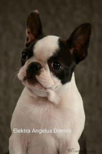 Boston Terrier - Elektra Angelus Domini