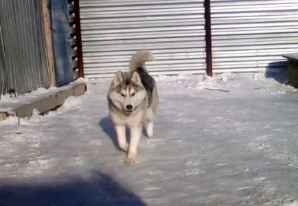 Siberian Husky - Bekshiler Antique Silver