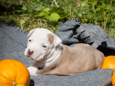 American Staffordshire Terrier - Staffisfaction Avalanche