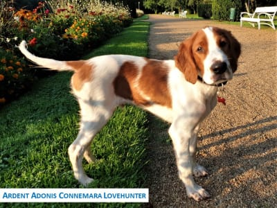 Irish Red and White Setter - Ardent Adonis