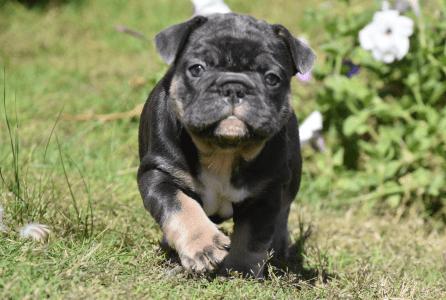 French Bulldog - Princess