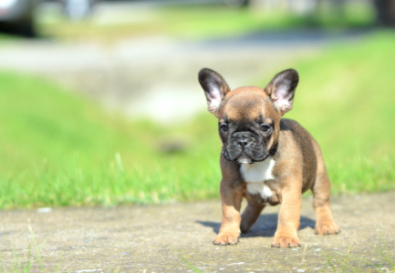 French Bulldog - Donatella