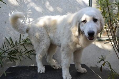 Pyrenean Mountain Dog - Angie