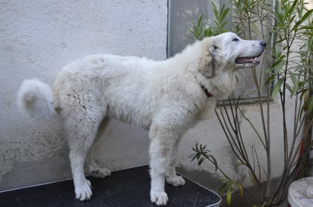 Pyrenean Mountain Dog - Asiya