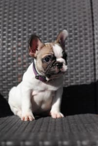 French Bulldog - Hera