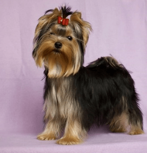 Yorkshire Terrier - Of Little Bunny Fu Fu Mestertenyészet