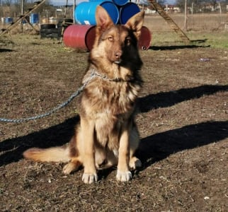 German Shepherd Dog - Buailles
