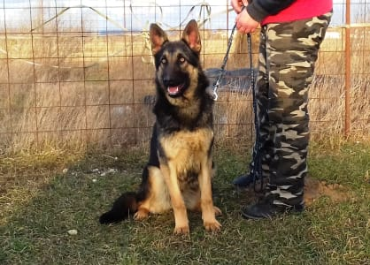 German Shepherd Dog - Huba