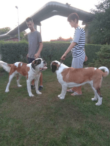 Saint Bernard - Angels Of The Phoenix St. Bernard Kennel