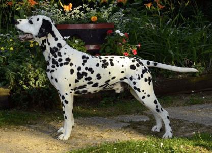 Dalmatian - Lacrima Christi