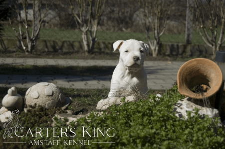 American Staffordshire Terrier - Carters King Absolut Elyx