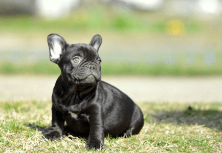 French Bulldog - Főnix