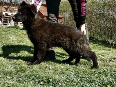 German Shepherd Dog - Thor