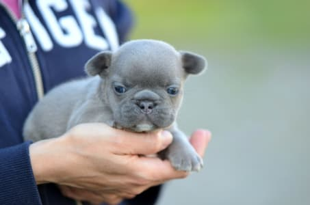 French Bulldog - Ian