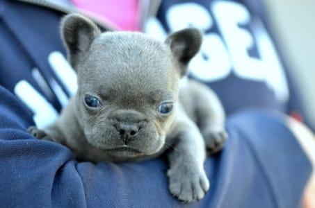 French Bulldog - Iggy