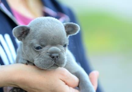 French Bulldog - Ivan