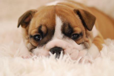 Bulldog - Rengőhegyi-ormán Hayme