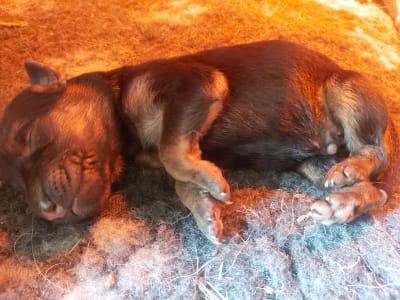 German Shepherd Dog - Bobita