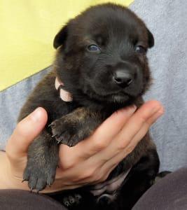 Short-haired Dutsch Shepherd Dog - Camille Filarriscado