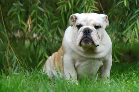 Bulldog - Franco