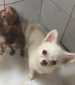Chihuahua - Marcipán