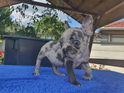 French Bulldog - Pindur