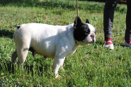 French Bulldog - Hópihe